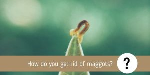 How do you get rid of maggots? Can Pest Control Get Rid of Maggots?