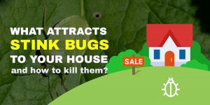 What attracts stink bugs to your house and how to kill them?