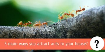 5 main ways you attract ants to your house? A Complete Guide