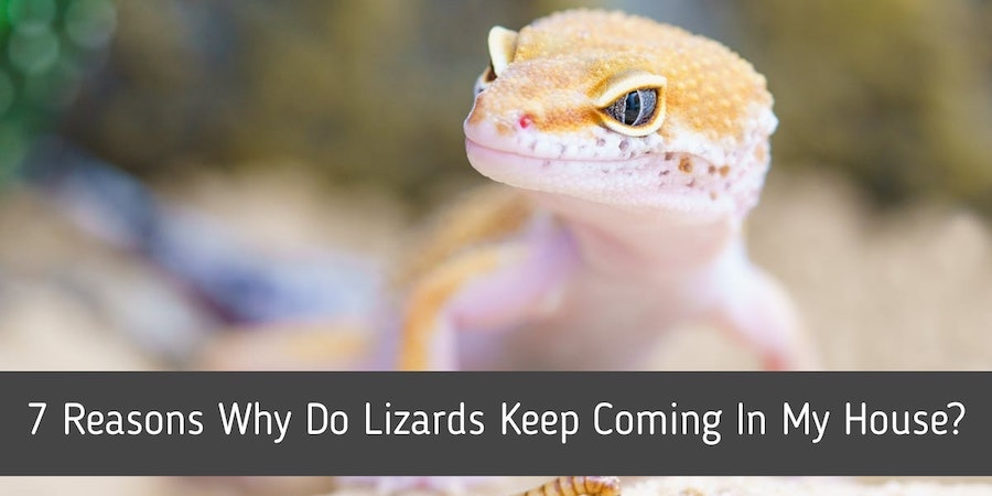 7 Reasons Why Do Lizards Keep Coming In My House?