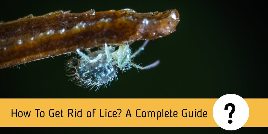 How To Get Rid of Lice? A Complete Guide