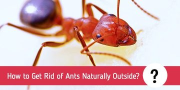 How to Get Rid of Ants Naturally Outside Without Killing Them?