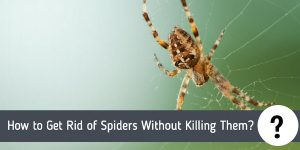 How to Get Rid of Spiders Without Killing Them?