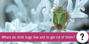 Where do stink bugs live and to get rid of them?