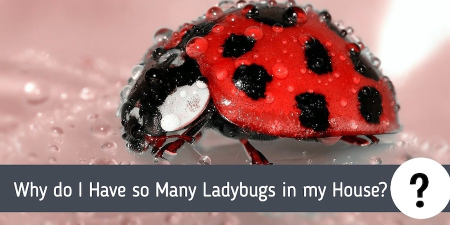 Why do I Have so Many Ladybugs in my House?