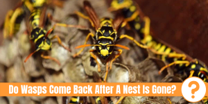 Wasp nest with wasps sitting on it with text: Do wasps come back after a nest is gone