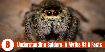 cute jumping spider with text Understanding Spiders 8 myths vs 8 facts