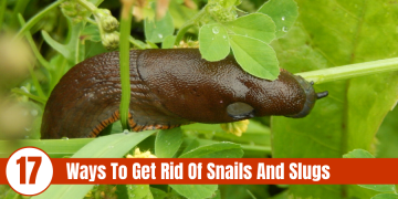 "picture of snail on leaves with text "" 17 ways to get rid of snails and slugs"""