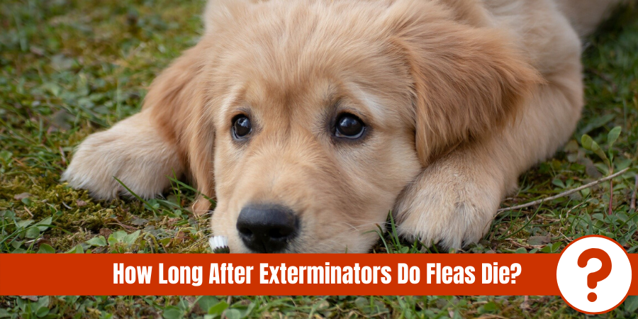 "picture of dog laying in grass with text "" How long after exterminators do fleas die?"