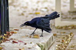 Black grackle on a concrete slab