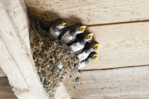 Five small baby swallows in a nest built in the corner of a building