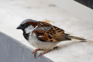 Brown small house sparrow on a concrete slab