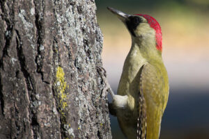 Woodpecker with red head on a tree