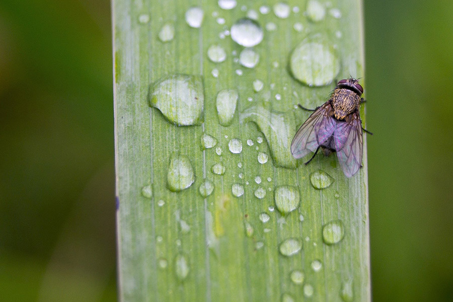 A fly lying on a wet leaf