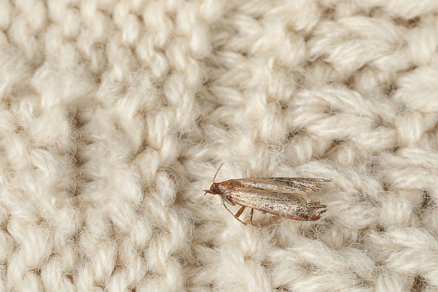 Clothes Moth Tineola Bisselliella on wool fabric
