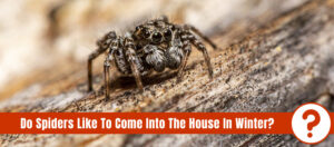 Brown jumping spider on a surface with the text: Do spiders like to come into the house in winter?