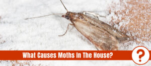 Flour moth Ephestia kuehniella with the text: what causes moths in the house?