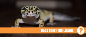 Yellow lizard with black spots from the front and the text: does Raid kill lizards?