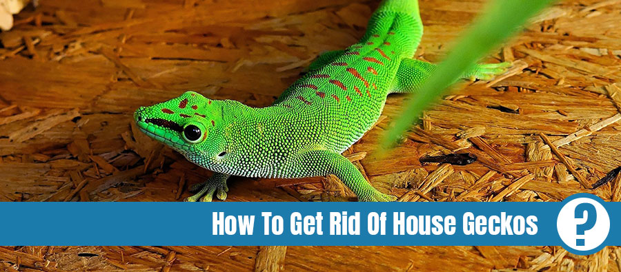 Green gecko on wood with the text: How to get rid of house geckos
