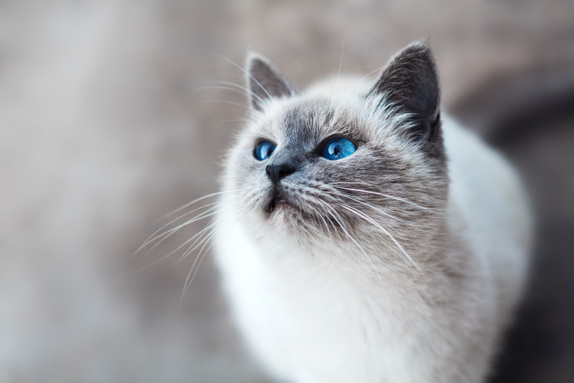 Grey and white house cat with blue eyes as a natural pest control for geckos