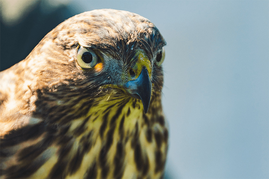close-up photo of brown hawk