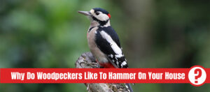 Black and white bird on tree trunk with the text: Why do woodpeckers like to hammer on your house