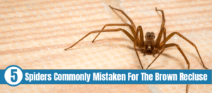 A creepy brown recluse spider lurks waiting for prey with text: spiders commonly mistaken for the brown recluse