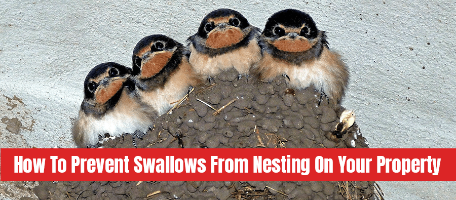 Swallow's nest with text: How to prevent swallows from nesting on your property
