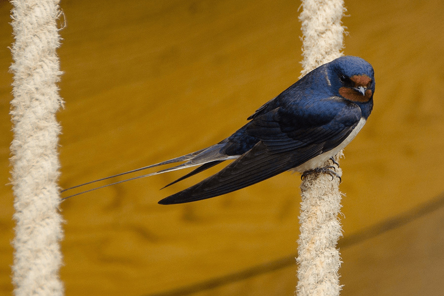 Swallow sitting on rope