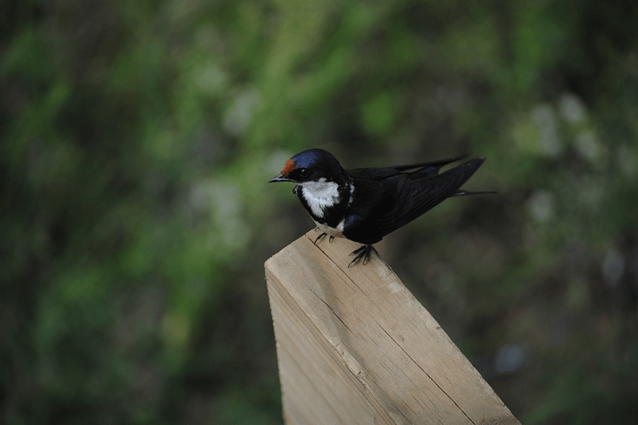 Barn swallow resting on wooden surface in garden