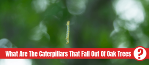 Worm with text: What are the caterpillars that fall out of oak trees?