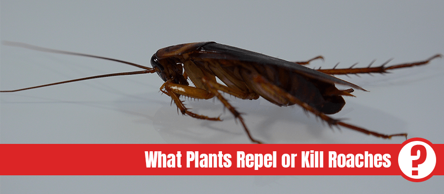 American cockroach with light effects with text: what plants repel or kill roaches