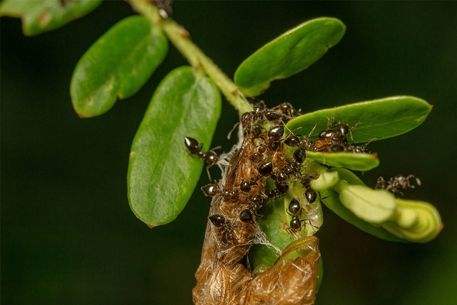 Ants on leaves of a plant in the garden