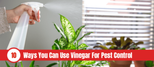 Someone spraying diluted vinegar on house plant on window sill with text: 10 ways you can use vinegar for pest control